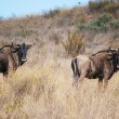 African Blue wildebeest - Stock Photo