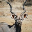 Male Kudu Antlers — Stock Photo #4819522