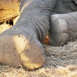 Stock Photo: Elephant feet