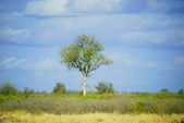 African tree — Stock Photo