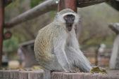 Scimmia di vervet, cercopithecus aethiops — Foto Stock