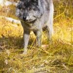 野生のオオカミ — ストック写真