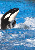 Orca Whale — Stock Photo