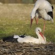 Two storks — Stock Photo #4426028