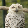 Snow owl — Stock Photo #4426113