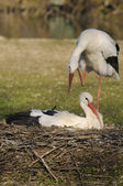 Two storks — Stock Photo