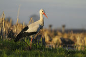 White Stork — Stock Photo