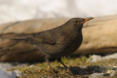 Common Blackbird, Turdus merula — Stock Photo