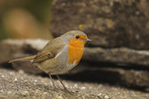 Robin, Erithacus rubecola — Stock Photo