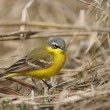 Motacillflava, blue-headed wagtail — Stock Photo #4766358