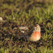 Linnet, Carduelis cannabina — Stock Photo #4766443
