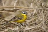 Motacilla flava, blue-headed wagtail — Stock Photo