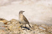 Water Pipit, Anthus spinoletta — Stock Photo