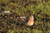 Linnet, Carduelis cannabina — Stock Photo