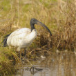 Sacred ibis, Threskiornis aethiopicus Latham — Stock Photo #5364293
