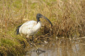 Sacred ibis, Threskiornis aethiopicus Latham — Stock Photo