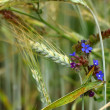 Spikelets of wheat and wild flowers — Stock Photo