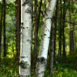 Stock Photo: Trunks of birch trees in sunlight