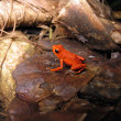 Strawberry poison-dart frog - Stock Photo