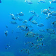 School of Diplodus vulgaris - Stock Photo