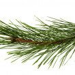 The image of a branch of the pine, isolated, on a white backgrou — Stock Photo