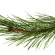 The image of a branch of the pine, isolated, on a white backgrou — Foto Stock