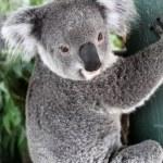 Koala — Stock Photo