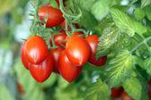 Roma Tomato — Stock Photo