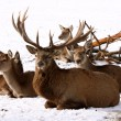 Deer Family — Stock Photo #4430379
