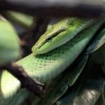 Постер, плакат: Green Rat Snake