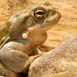 Colorado Toad — Stock Photo #4431041