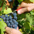 Grape Harvesting — Stock Photo #4431086