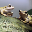 Java Whipping Frogs — Stock Photo