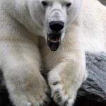 北极熊 — 图库照片