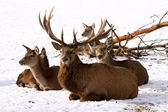 Deer Family — Stock Photo