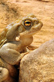 Colorado Toad — Stock Photo