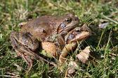 Common Toads (Bufo Bufo) — Stock Photo
