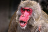 Japanska makaker — Stock fotografie