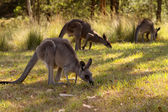 Kanguru — Stok fotoğraf