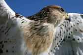 Young Hawk — Stock Photo