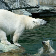 Polar Bear — Stock Photo #4454553