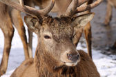 Big Deer — Fotografia Stock