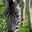 Royalty-Free Stock Photo: Zebra Closeup