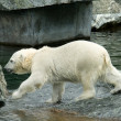 Polar Bear — Stock Photo #4485332