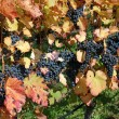 Vineyard — Stockfoto #4486607