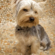 Yorkshire Terrier — Stock Photo #4917110