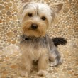 Yorkshire Terrier — Stock Photo #4917114