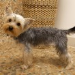Yorkshire Terrier — Stock Photo #4917122