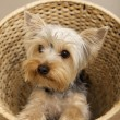 Yorkshire Terrier — Stock fotografie #4917135