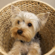 Yorkshire Terrier — Stock Photo #4917135